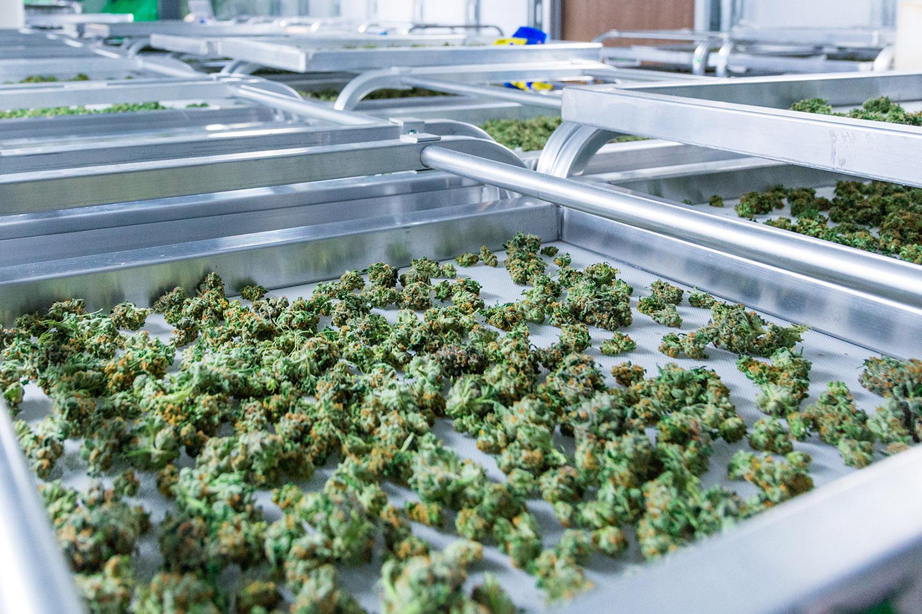 Sinceritas-Cannabis-Flos